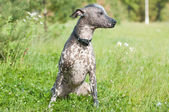 Xoloitzcuintle - hairless mexican dog portrait looking aside — Stockfoto