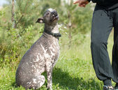 Obedient xoloitzcuintli. Listen the order — 图库照片