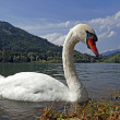 Swan on the alpine lake in Austria — Stock Photo