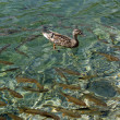 Royalty-Free Stock Photo: Ducks and fishes on Plitvice lak