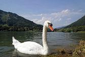 Swan on the alpine lake in Austria — Stock Photo