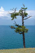 Old pine. Near Shamanka Rock, lake Baikal, Russia — Stock Photo