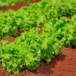 Stock Photo: Lettuce plantation