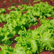 Lettuce plantation — Stock Photo #13516232