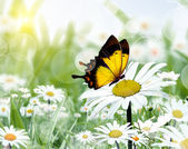 Chamomiles and butterfly — Stock Photo