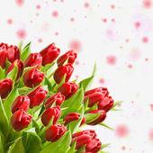 Tulipani freschi — Foto Stock