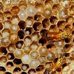 Bee with honey — Stock Photo
