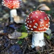 Two red mushrooms fungi, Fly — Stock Photo #14564407