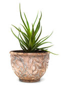 Haworthia in flowerpot isolated on white — Stock Photo