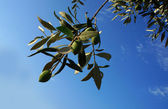 Olive Tree silhouette. Olive branch. — Stock Photo