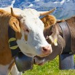 Swiss cows — Foto de Stock