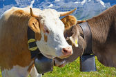 Swiss cows — Foto Stock