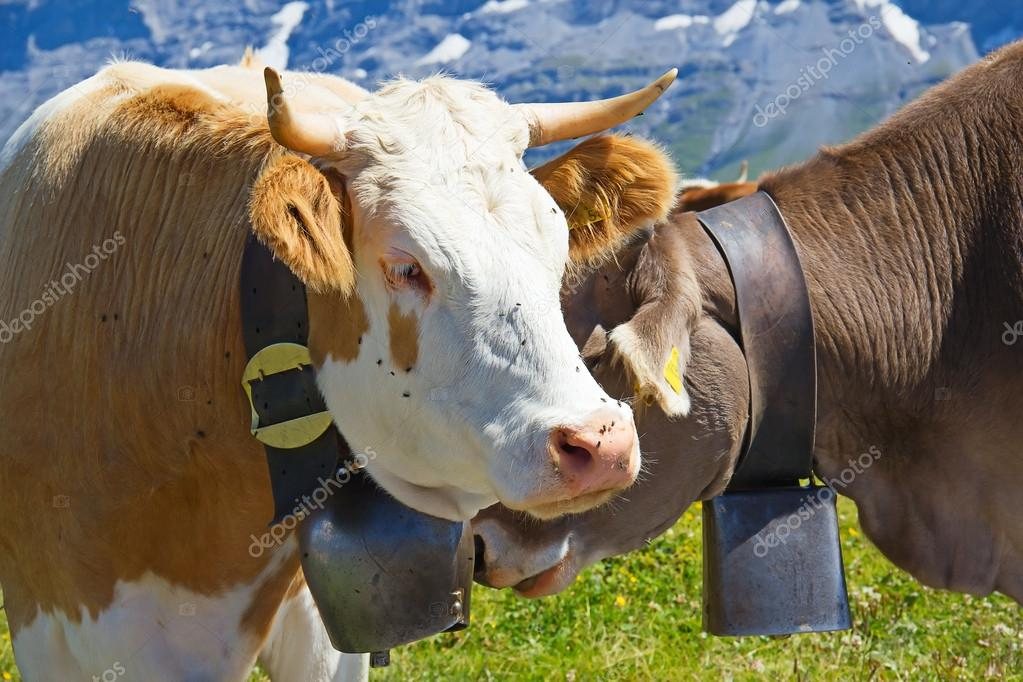 Swiss cows in the alps  Stock Photo #14018803