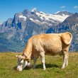 Cows in the swiss alps — Stock Photo #14036563