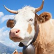Swiss cow - Stockfoto
