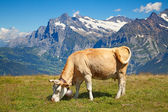 Cows in the swiss alps — Foto Stock