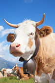 Swiss cow — Stockfoto