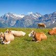 Cows in the swiss alps — Stock Photo #14043334