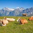 Stock Photo: Cows in the swiss alps