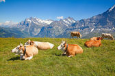Cows in the swiss alps — Stock Photo