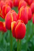 Tulips — Stock fotografie
