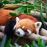 Red panda (firefox) — Stock Photo #28033749