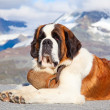 St. bernard hond — Stockfoto