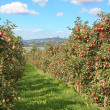 Apple garden  — Stockfoto