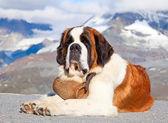 St. Bernard Dog — Foto de Stock
