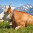 Swiss cow — Stock Photo