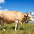 Swiss cow — Stock Photo #39128345