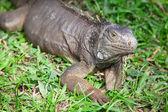 鬣鳞蜥 — 图库照片
