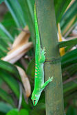 Green gecko — Stock Photo