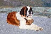 St. bernard köpeği — Stok fotoğraf