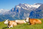 Schweizer kuh — Stockfoto