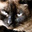 Burmese Cat — Stock Photo