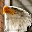 Bald Eagle in Rehabilitation Center — Stock Photo #12804063