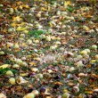 Hickory nuts on the ground — Stock Photo