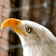 Bald Eagle in Rehabilitation Center — Stock Photo #12950564