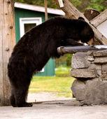 Taku lodge niedźwiedź — Zdjęcie stockowe