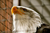 Bald Eagle in Rehabilitation Center — Stock Photo
