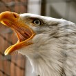 Bald Eagle in Rehabilitation Center — Stock Photo #13513780