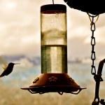 Hummingbird Approaches Feeder 3 — Stock Photo #14415925