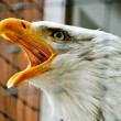 Screeching eagle — Stock Photo