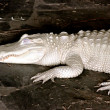 Stock Photo: Alligator Albino