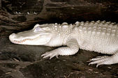 Albino alligator — Stockfoto