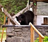 Bear Stare — Stock Photo