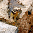 Chipmunk poses on boulder — Stock Photo #18740753