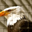 Bald Eagle in Rehabilitation Center — Stock Photo #20008499