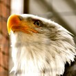 Bald Eagle in Rehabilitation Center — Stock Photo #20008551
